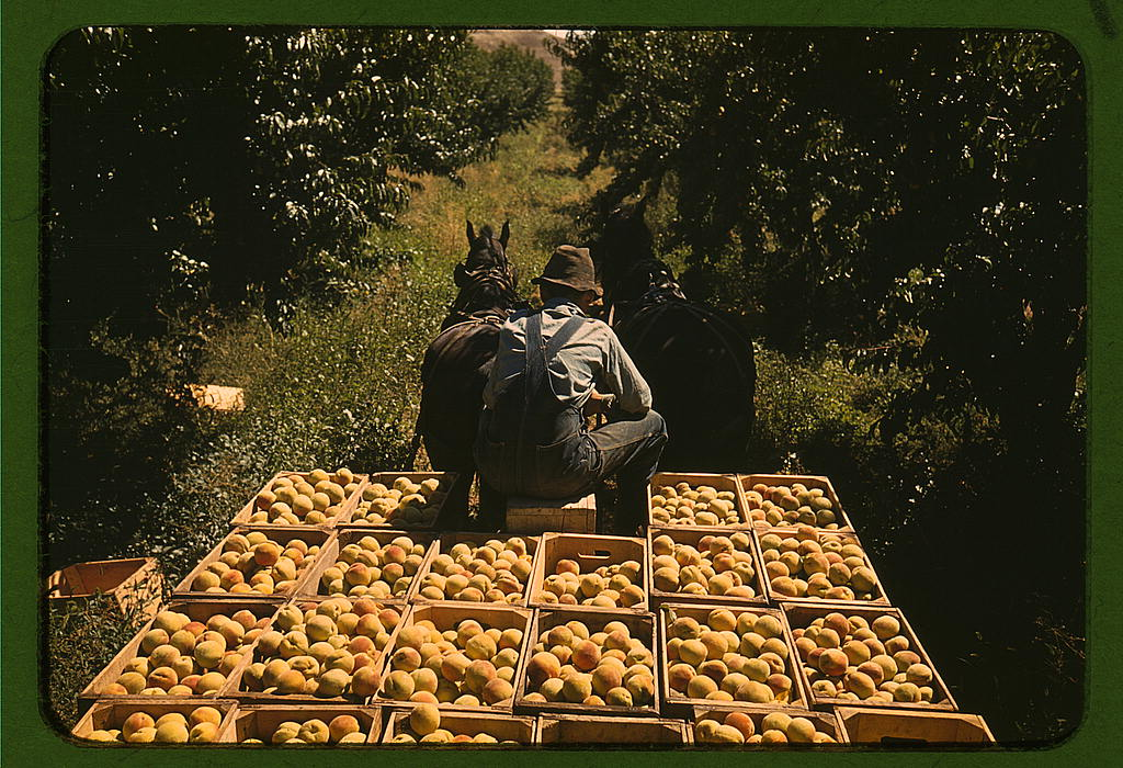 Peach Pickers